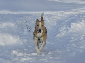 Cody, the fierce sled dog
